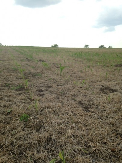 No-till corn planted into a rye cover crop, McHenry County, June 8, 2015 (Courtesy of Stephanie Porter, Burrus Sales Agronomist).