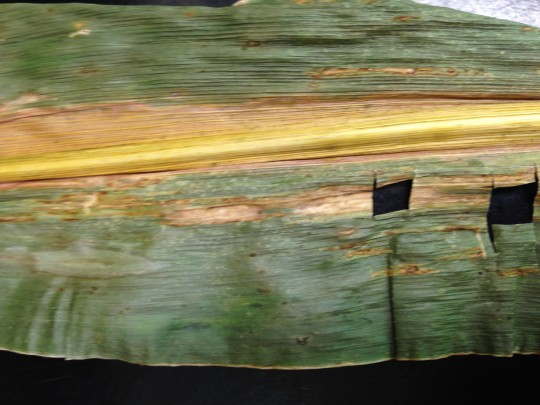 Lesion symptoms of Bacterial leaf stripe on corn in Illinois. Photo credit: University of Illinois Plant Clinic