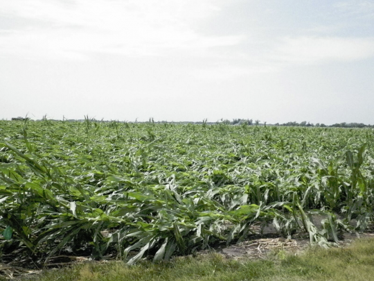 Figure 1. Corn flattened by wind in the early morning of June 22, 2016. Photo taken in mid-afternoon on June 22 at the Monmouth Research & Education Center by Angie Peltier.