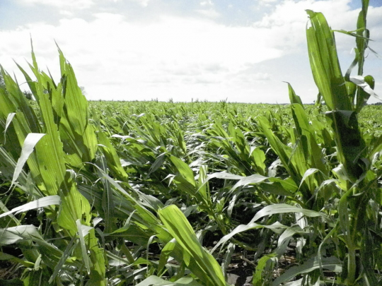 Figure 2. Corn flattened by wind in the early morning of June 22, 2016. Photo taken about 24 hours after the photo in Figure 1, and in the same field. Photo by Angie Peltier.