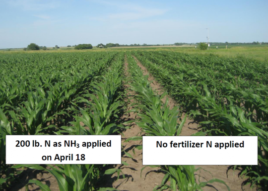 Figure 1. Photo taken on June 9 of V7 corn in a research trial near Urbana, Illinois. The crop followed soybean, and was planted on April 18.