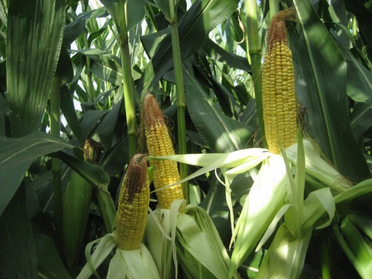 Figure 1. Ears in corn planted at 36,000 per acre on April 20.