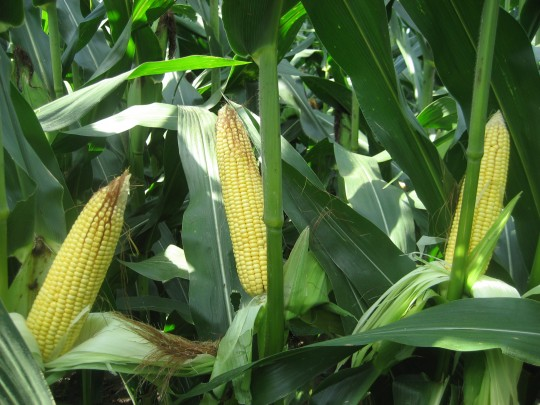 Ears in corn planted at 34,000 on April 22