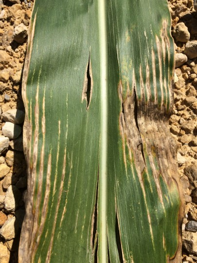 Picture 2: Late foliar symptoms of Bacterial leaf streak showing long lesions.  Photo courtesy of Scott Schirmer Illinois Department of Agriculture, State Plant Regulatory Official.