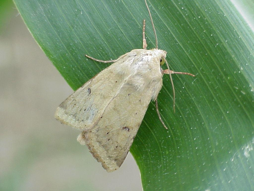 Corn earworm moth (Photo courtesy of University of Maine)