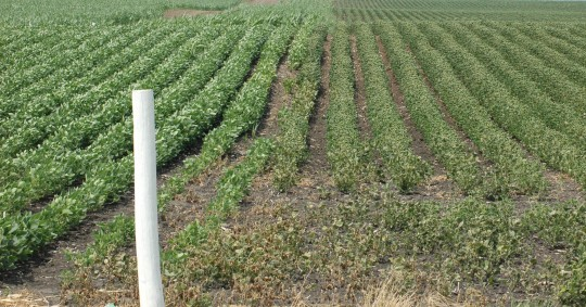 Figure 3.  Physical spray drift from the soybean field to the left onto the soybean field to the right.