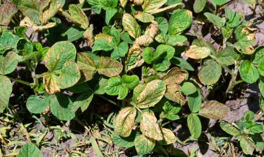 Figure 5.  Leaf distortion caused by a foliar-applied PPO-inhibiting herbicide.