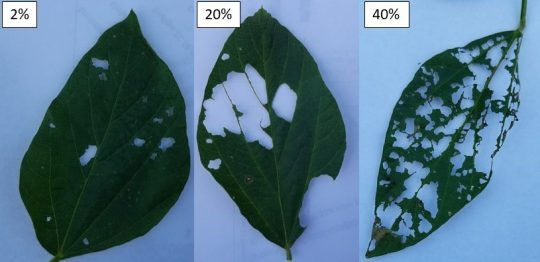 Soybean defoliation levels