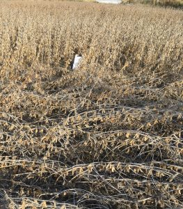 Soybean lodging caused by dectes stem borer