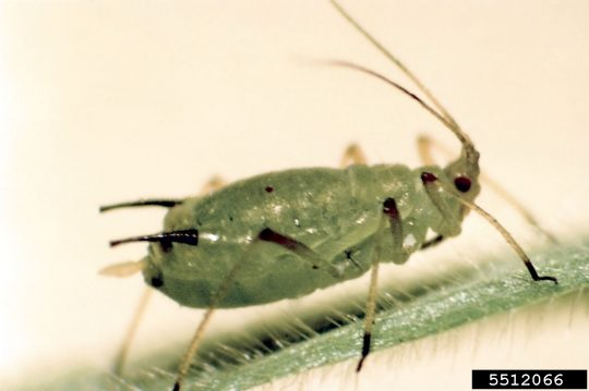 image of an English grain aphid