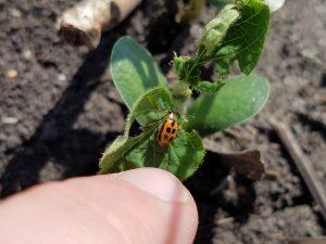 Bean leaf beetle on seedling soybean