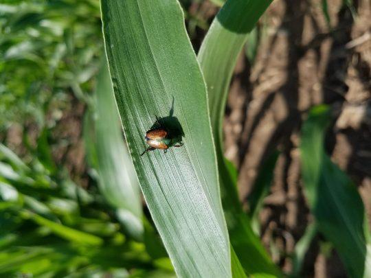 Japanese beetle adult