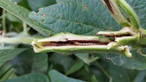 Image of dectes stem borer larva inside of a soybean stem