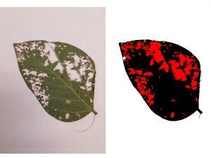 Image of defoliated soybean leaf