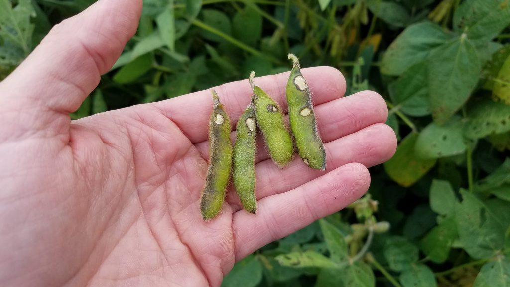 Image of soybean pods scarred by bean leaf beetle feeding